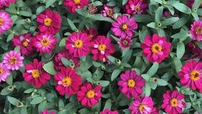 Zinnia rose dans le jardin et la fleur colorés images stock