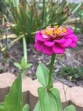 Zinnia rose simple photographie stock libre de droits