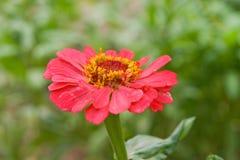 Zinnia rosso in un giardino Fotografia Stock Libera da Diritti