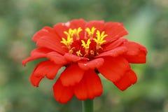 Zinnia rouge avec la couronne jaune Image libre de droits