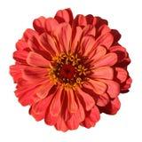 Zinnia rouge-clair d'isolement sur le fond blanc Image stock
