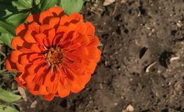 Zinnia rouge de flambage de chute Photo stock