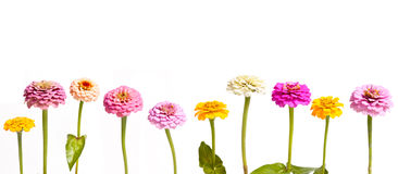 Zinnia in a Row. Colorful zinnia blossoms in a horizontal row against a white background stock images