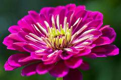 Zinnia roxo Imagens de Stock Royalty Free