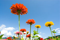 Zinnia in the sky Stock Photos