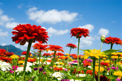Zinnia and sky Stock Images