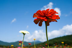 Zinnia and the sky Stock Images