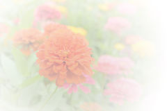 Zinnia soft color and blur style for background. Stock Photography