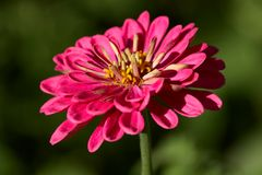 Zinnia in Spot Light. Fresh grown zinnia from a backyard garden with the middle of the flower in focus Stock Images