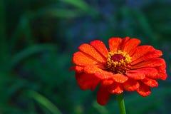 Zinnia vermelho brilhante do jardim Fotografia de Stock Royalty Free