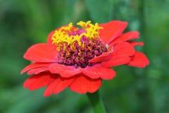 Zinnia vermelho morno bonito com coroa amarela Foto de Stock Royalty Free