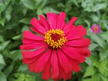 Zinnia violacea. Zinnia bloom in the winter Royalty Free Stock Image