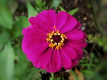 Zinnia violacea Cav. Is an accepted name. This name is the accepted name of a species in the genus Zinnia stock photo