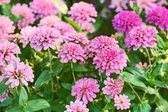 Zinnia violacea Cav. Beautiful striped butterfly is perching on pink Zinnia flower Zinnia violacea Cav. in summer garden on sunny day. Zinnia is a genus of Royalty Free Stock Image