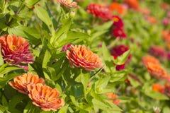 Zinnia Violacea Cav Blume lizenzfreie stockbilder