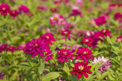 Zinnia Violacea Cav Flower Stock Photo