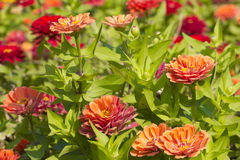 Zinnia Violacea Cav Flower Stock Images