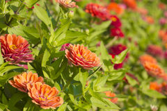 Zinnia Violacea Cav Flower Royalty Free Stock Images