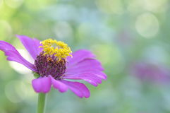 Zinnia Violacea Cav Flower Royalty Free Stock Photography
