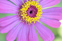 Zinnia Violacea Cav Flower Royalty Free Stock Photo