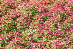 Zinnia violacea Cav. Zinnia violacea cav flower in the garden Stock Photos