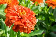 Zinnia violacea flower. In a park Stock Photo