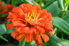 Zinnia violacea flower. In a park Royalty Free Stock Photography