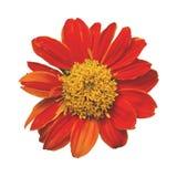 Zinnia violacea. Orange flower isolated. Zinnia violacea. Orange flower isolated on white background. This has clipping path Stock Photos