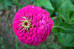 Zinnia violeta Fotografía de archivo libre de regalías