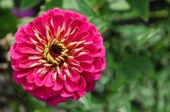 Zinnia violeta bonito Imagem de Stock