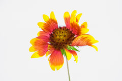 Zinnia Royalty Free Stock Photo