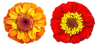 Zinnia on a white background Stock Photos