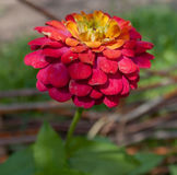 Zinnia & x28; plant& x29; Fotografia de Stock Royalty Free