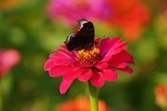 Zinnia y mariposa de pavo real europea (Inachis io) Imagen de archivo libre de regalías