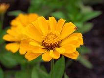 Zinnia. Yellow zinnia in the garden royalty free stock images