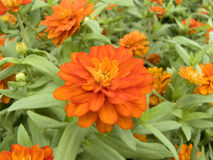 Zinnia or Youth and Old Age Stock Photo