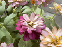 Zinnia or Youth and Old Age Stock Image