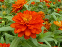 Zinnia or Youth and Old Age Royalty Free Stock Images