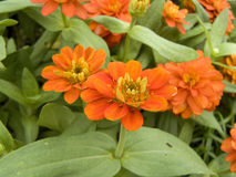 Zinnia or Youth and Old Age Royalty Free Stock Image