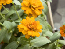 Zinnia or Youth and Old Age Royalty Free Stock Photos