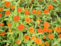 Zinnia or Youth and Old Age Stock Photography