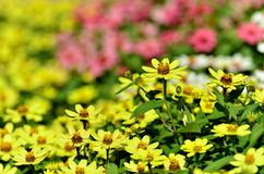 Zinnia Zahara Yellow Royalty Free Stock Image
