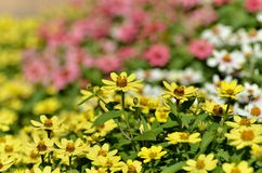 Zinnia Zahara Yellow. Stock Photo