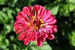 Zinnia zed beautiful flower Stock Photography