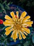 Zinnia. In garden stock photos