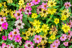 Zinniablütenblume bunt Stockfotos