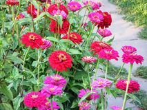 Zinniablom i den trädgårds- sommaren Juli Royaltyfri Foto