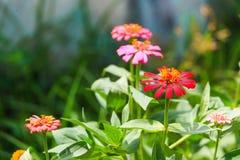 Zinniablomma i trädgård Royaltyfria Bilder
