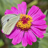 Zinniablomma med den lilla vita fjärilen Arkivbilder