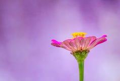 Zinniablomma på purpurfärgad bakgrund arkivbild
